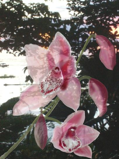 Orchid/Amazon Ii